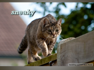 photo of brownish tabby cat sneaking along the top of a fence or wall. Text: sneaky